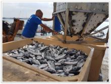 מפעלי הדיג של דג סוף וצמח תערובות.