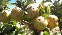 נזקי ברד בתפוח