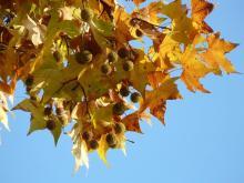 ענף עץ שקמה עם פירות