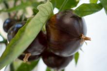 עגבניה שחורה